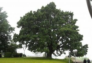 Century-old oak tree – Silistra